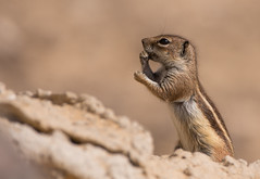 Barbary Ground Squirrel (Wouter's Wildlife Photography) Tags: barbarygroundsquirrel squirrel groundsquirrel mammal animal nature naturephotography wildlife wildlifephotography canaryislands atlantoxerusgetulus