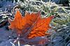 Frozen nature (STE) Tags: gelo frost frosty foglia secca leaf inverno winter freddo cold ghiaccio ice fuji fujifilm xt20 frozen