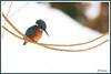 Martin-Pêcheur 171220-02-P (paul.vetter) Tags: oiseau ornithologie ornithology faune animal bird martinpêcheur alcedoatthis eisvogel kingfisher
