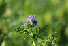 CKuchem-2018 (christine_kuchem) Tags: acker ackerrand agrarlandschaft biene bienenfreund bienenweide blühstreifen blüte boden bodenverbesserung dünger düngung feld felder grün gründünger insekten klee kulturlandschaft landwirtschaft lupinen mischung nahrung nektar phacelia ramtillkraut sommer verbesserung winterroggen bio biologisch blau lila naturnah natürlich