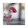 201701112 frozen rose (Thierry Lubin (www.meinstream-fotografie.de )) Tags: thierrylubin 45mmmft bluete eis fotografie lubin meinstream meinstreamfotografie olympus omdem10ll quadrat rose rosenbluete schnee thierry