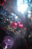 ILCE-7M2-06511-20171222-1645-HDR // Meyer-Optik Gorlitz Oreston 50mm 1:1.8 (Otattemita) Tags: 50mmf18 florafauna görlitz meyeroptik meyeroptikgörlitzoreston50mmf18 oreston fauna flora flower nature plant wildlife meyeroptikgorlitzoreston50mm118 sony sonyilce7m2 ilce7m2 50mm cnaturalbnatural ota