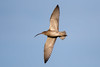 Curlew (Simon Stobart) Tags: curlew numenius arquata flying northeast england from below sky coth5 ngc npc