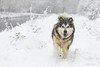 I'm running home for Christmas! (karindebruin) Tags: thenetherlands nederland zuidholland voorneputten dog hond sneeuw snow hellevoetsluis ravensehout christmas
