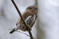 Northern Pygmy-Owl / Chevêchette des rocheuses (shimmer5641) Tags: glaucidiumgnoma northernpygmyowl chevêchettedesrocheuses raptor birdofprey britishcolumbiacanada birdsofbritishcolumbia birdsofnorthamerica owlsfamily