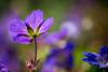 flower (hanspirkie) Tags: makro light blume lila natur sommer