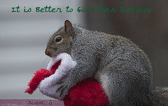 Happy Holidays (Diane G. Zooms---Mostly Off) Tags: bestofsquirrels squirrel squirrels squirrelpics christmassquirrel greysquirrel dianegiurcophotography alittlebeauty sunrays5 coth coth5