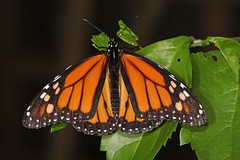 Danaus plexippus Monarch (3) (wildlifelover69) Tags: danausplexippus monarch tropicalbutterflies
