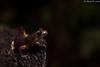 Oregon Ensatina (Ensatina eschscholtzii oregonensis) (Chad M. Lane) Tags: salamanders salamander black blacksalamander mendocinocounty fieldherping fullframe flashphotography wildlife wildlifephotography wild explore exploring ensatina explorer eye eyes eschscholtzii enjoy r1kit travel yellow yelloweyedensatina usa outdoor animals amphibians animal arborealsalamander awesome d810 greatoutdoors herps herping hiking herp herpetology hidden herpers love fx california californiawildlife creek coastalcalifornia californiaherps beautiful bokeh blue nikon nature nikond810 naturephotography nofilter macro macrophotography mothernature mountains moss