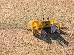 sand crab watching me (maryannenelson) Tags: stkitts december warmth caribbean sandcrab eyes claws beach shipwreckbeach
