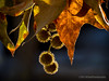 Seed Pods and Laeves... (HLHullPhotography) Tags: leaves leaf seedpods seedpod backlight