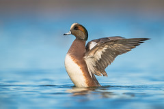 American Wigeon (nikunj.m.patel) Tags: ducks duck americanwigeon waterfowl nature wild outdoors winter chesapeake migration photography nikon