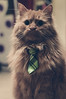 Business Casual Cat (WideAwakeinLatvia) Tags: washed sand color businesscasual tie corporate kittytie cat brown 35mm attire fod 2017 bowtie apartment pussycat latvija pussy d3200 indoor bailet rigalatvija fur rīga nikon house shallowfocus feline filter beilijs kitty business green