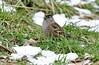 Golden-crowned Sparrow - 094A4814a1c (Sue Coastal Observer) Tags: goldencrownedsparrow gcsp zonotrichiaatricapilla richmond bc britishcolumbia canada eatinggrass mature
