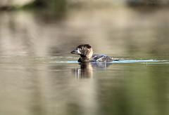 Musk Duck (Biziura lobata) (Harlz_) Tags: muskduck biziuralobata duck native wild wildlife bird water australia southaustralia canon5dmarkii canon ef500mmf4lisusm