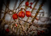 Vicious fruit (CAJC: in the Rockies) Tags: viciousfruit hss slidersunday pricklyrosehips winter colorado sonyrx100m5