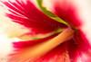 Rose Mallow (chrys goote) Tags: hibiscus hibiscusrosasinensis wings malvaceae tropicalhibiscus reverseringmacro rosemallow hibiscusrosasinensiswhitewings