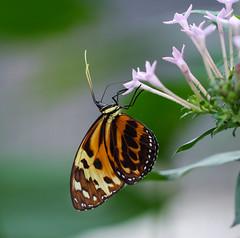 Happy New Year (LuckyMeyer) Tags: butterfly schmetterling botanical garden makro yellow brown black flower fleur