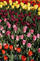 april9ththru16th 085 (condor avenue) Tags: april9ththru16th skagit skagitcounty tulipfestival daffodilfields tulipfields washington tulips springflowers spring