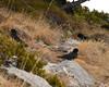 Alpine chough (Pyrrhocorax graculus) (Mark Vukovich) Tags: chough alpine spain pyrenees