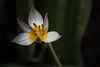 Tulipe Lilac Wonder (Paul Leb) Tags: fleur flor flower tulipe tulip tulipa saxatilis lilac wonder
