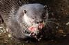 otter ouwehands BB2A4941 (j.a.kok) Tags: otter ouwehands animal asia azie europe europa mammal zoogdier dier