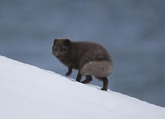 Arctic fox. (richard.mcmanus.) Tags: arcticfox arctic iceland westfjords hornstrandir mcmanus animal mammal wildlife fox