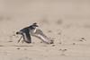 _D505622 (De Hollena) Tags: bontbekplevier charadriushiaticula chorlitejogrande commonringedplover pluviergrandgravelot sandregenpfeifer