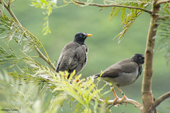 Jungle Myna in Rain (Deepu Cyriac) Tags: anamalaitigerreserve atr anamalais travel tamilnadu nature wildlife westernghats birds bird myna junglemyna indianforest valpara valparai