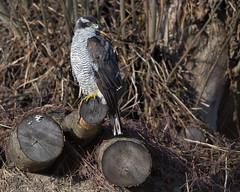 Auf der Jagd... (bertheeb) Tags: habicht nikon d750 greifvogel 500mmvr vogel ngc