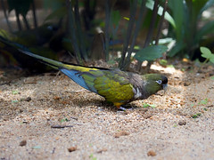 Patagonian Conure (Burrowing Parrot) _ JBP ☺ (mahi mahi 163) Tags: parrot conure 80400mm singapore jbp