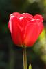 Red Tulip (gripspix (OFF)) Tags: 20170505 color farbe tulip tulpe petal blütenblatt goblet kelch red rot