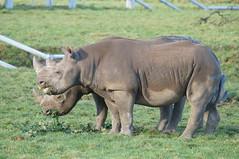 Yorkshire Wildlife Park  06.01.2018 528 (Andrew Burling (SnapAndy1512)) Tags: yorkshirewildlifepark06012018 yorkshirewildlifepark blackrhino rhino yorkshire animals zoo