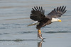 Eagle Catching A Fish (Eric Gerber) Tags: ericgerber nature bald eagle eagles river wild wildlife fish