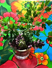Freshly Cut  Herbs In Water <<>> Red Rubin Basil & Italian Parsely (Chic Bee) Tags: stilllife herbs italianparsley redrubinbasil cooking aroma flavor savory recipes colorful oilcloth print colors colores colours couileurs background naturezamorta