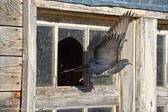 Country Christmas (Trevdog67) Tags: pigeon bird flight wings motionfreeze motion freeze barn farm country christmas abandoned window broken wooden moncton nb411 explorenb newbrunswick nouveaubrunswick canada nikon d7500 nikkor 18300mm