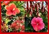 Garden Safari (Gillian Everett) Tags: hibiscus hotpink flamenco littledugald tree mango ssc 52 2017 week51