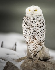 The Exorcist . . . (Dr. Farnsworth) Tags: snowyowl snowy owl bird large feathers eyes yellow neck bones 270degrees muskegon mi michigan fall december2017 fantasticnature