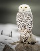 The Exorcist . . . (Dr. Farnsworth) Tags: snowyowl snowy owl bird large feathers eyes yellow neck bones 270degrees muskegon mi michigan fall december2017 fantasticnature