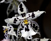 Orchid White Black. (rumerbob) Tags: orchid flower floral flowergarden fauna flowerphoto botany botanical botanicalgardens macro macroflower macrophotography nature naturephotography longwoodgardens canon7dmarkii canon100mmmacrolens