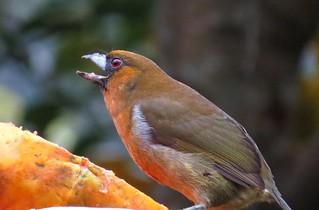 Prong-billed barbet (Semnornis frantzii), Mirador Cinchona, Costa Rica, Dec 2016