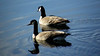 Goose and Gander (ambrknr) Tags: canadian goose geese gander pair couple male female water fowl waterfowl wildlife pacific northwest eugene western oregon willamette valley delta ponds bird