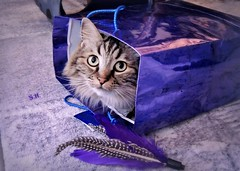 Have yourself a purple little Christmas, miau! (pianocats16) Tags: cat kitty cute fluffy purple bag toy feathers