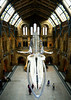 The Great Whale (Travis Pictures) Tags: naturalhistorymuseum museum hintzehall centralhall london southkensington kensingtonandchelsea history city capitalsoftheworld capitalcity nationalmuseum exhibition skeleton whale nikon d5200 photoshop stairs