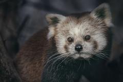 Red Panda (Blitzknips) Tags: redpanda katzenbär sonyilce7m2 sonya7ii tierparkberlin tier animal mammal säugetier roterpanda portrait tierportrait animalportrait facetoface cute