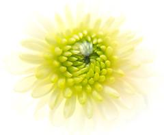 Macro Mondays-Redux 2017: Abstract Macro (somareja*pictures) Tags: redux2017 macromonday abstractmacro canonpowershotg15macro canonpowershotg15 macro flower flickr markusreber somarejapictures