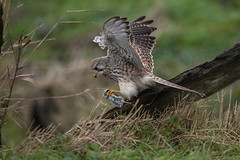 R17_6905-2 (ronald groenendijk) Tags: cronaldgroenendijk 2017 falcotinnunculus rgflickrrg animal bird birds birdsofprey groenendijk holland kestrel nature natuur natuurfotografie netherlands outdoor ronaldgroenendijk roofvogels torenvalk vogel vogels wildlife