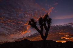 I See The Fire In The Sky (Anna Kwa) Tags: twilight sunset silhouettes joshuatree joshuatreenationalpark coloradodesert mojavedesert southerncalifornia usa annakwa nikon d750 2401200mmf40 my fire always seeing heart soul throughmylens 顏色 colors 沉默 silence 生命 life 時間 time 距離 distance 黑夜 night 眼睛 eyes omm far journey fate destiny iseefireinthesky 敖犬owodog travel world passion