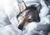 Sleepy (Knsartist) Tags: dog sleep bed blanket sleepy cute wolf husky tamaskan tired fluffy morning light white dogs sweet