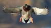 Drake Mallard (gilamonster8) Tags: drake mallard duck explore eos explored ef400mm56l 7dmarkii pond lake flight flickrelite fly ngc
